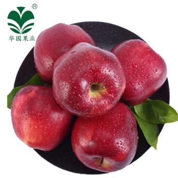 【华园】秦安4年树龄花牛苹果树回报15斤苹果80cm-85cm