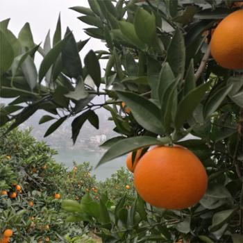 奉节脐橙现摘新鲜水果橙子70-75mm10斤装